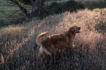 golden retriever hiking