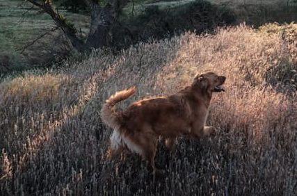 golden retriever hiking